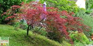 Erable Du Japon Entretien : rable du japon quel entretien jardipartage ~ Nature-et-papiers.com Idées de Décoration