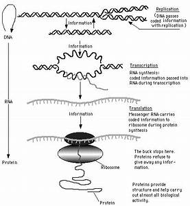33 Worksheet On Dna Rna And Protein Synthesis