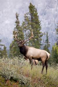 Majestic Rocky Mountain Elk