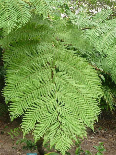 australian tree fern virtual plant collection australian tree fern
