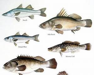 Snook Fish Clipart (34+)