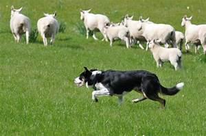 Herding Dog Brings Sheep Home   The Bark