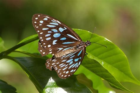 blue tiger tirumala hamata