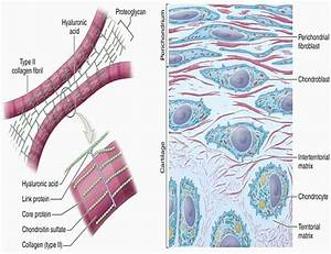 Cartilage Tissue  Types  Functions  Structure  U0026 Diagram