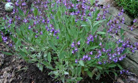 salvia officinalis sage herb medicinal   benefits