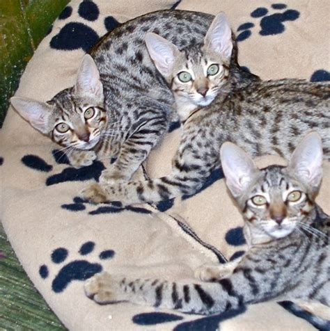 One Female F6 Savannah Kitten Available  Bideford, Devon