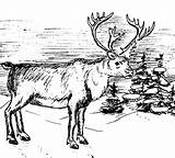 Elk Coloring Bull Pages Winter Clip Wildlife Animals sketch template