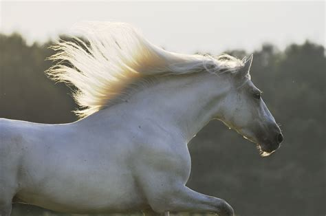horse andalusian lusitano international registry association
