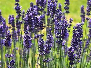 Plant De Lavande : choisir les bonnes plantes pour une bordure naturelle ~ Nature-et-papiers.com Idées de Décoration