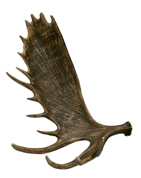 Moose Antlers Shed by Pin Moose Antler Shed On