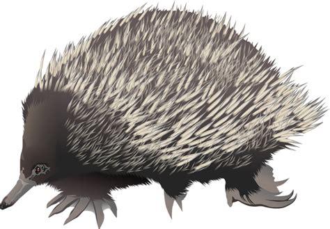 echidna clipart porcupine clipart echidna pencil and in color porcupine