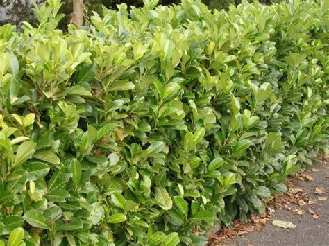 kirschlorbeer hecke pflanzen kirschlorbeer richtig schneiden garten kirschlorbeer