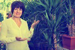 Palme Umtopfen Wurzeln Abschneiden : yucca palme krankheiten erkennen und behandeln palmlilie ~ Frokenaadalensverden.com Haus und Dekorationen
