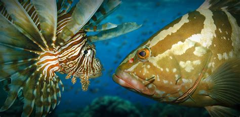 grouper lionfish invasive open water vs caribbean relationship gobbled between native documented kill observation recorded ashley peerj species examining re