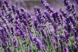 Lavendel Wann Schneiden : lavendel anbauen so wird s gemacht ~ One.caynefoto.club Haus und Dekorationen