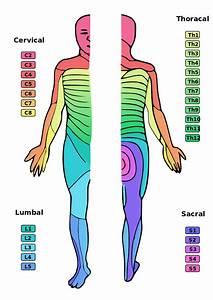 Nerves Cervical Spine Chart File Dermatoms Svg Wikimedia Commons