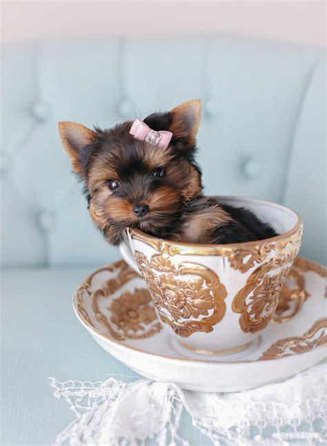 toy teacup puppies  sale teacups puppies  boutique