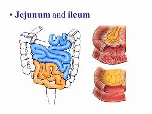 Jejunum Related Keywords - Jejunum Long Tail Keywords ...