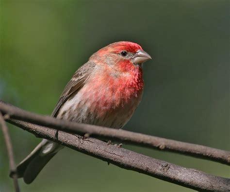 the splendid bourke bird blog pink birds red birds all