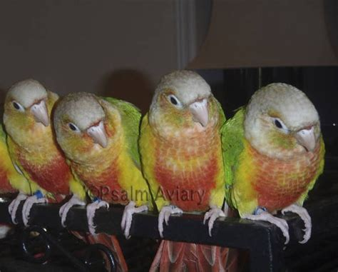 pineapple green cheek conure for sale adoption from