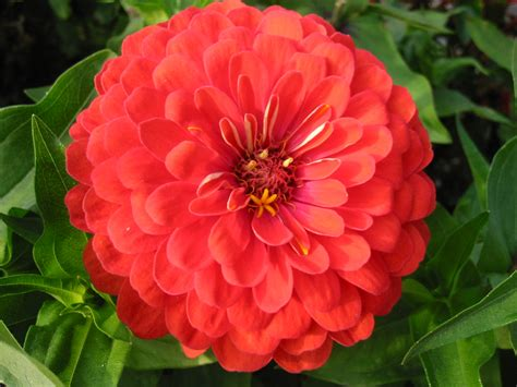 pics of zinnias file zinnia avenyn jpg wikipedia