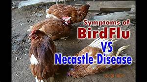 Bird Flu H5n1  Avian Flu Vs Newcastle Disease Symptoms