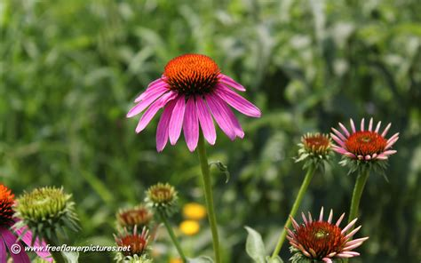 cone flowers coneflower pictures coneflower photos
