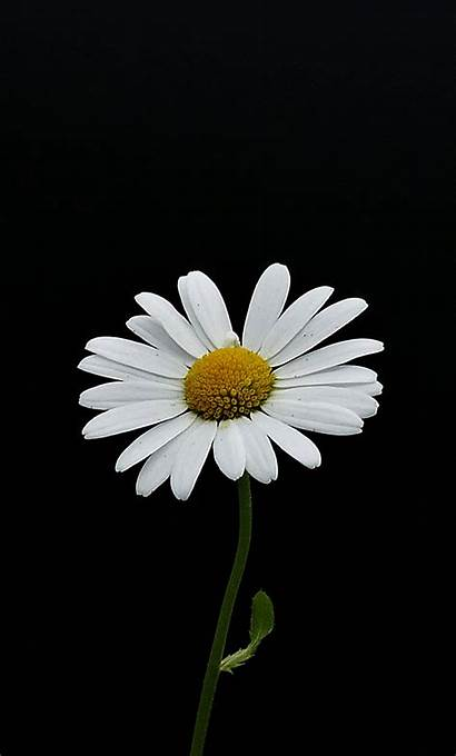 Daisy Portrait Flower Iphone Minimal Fondos Backgrounds