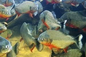 Swarm of deadly flesh-eating piranhas attack swimmers in ...