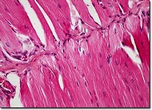 Muscle Cells Microscope | www.pixshark.com - Images ...