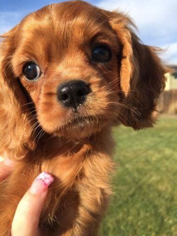 rubie  cavapoo  weeks   sale  pleasanton
