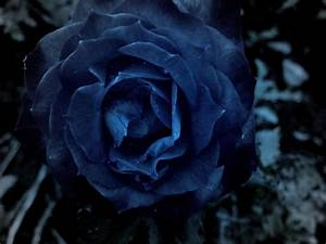 Dark Blue Roses Wallpaper - WallpaperSafari