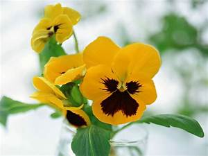 wallpapers: Pansy Flowers Wallpapers
