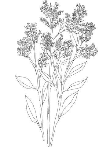 gypsophila  babys breath coloring page supercoloringcom