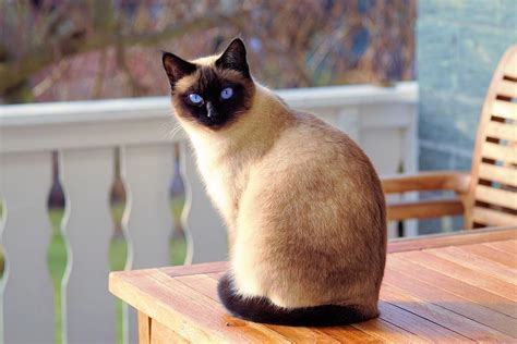 Least Shedding Cat Breeds by 8 Cat Breeds That Shed The Least