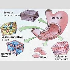 The Structure Of The Main Tissues Of The Stomach Thinglink