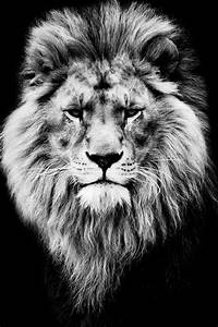 17 Best images about All things lion on Pinterest | Iphone ...