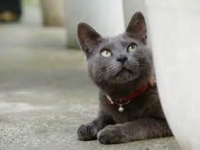 korat cat korat cat purrfect cat breeds