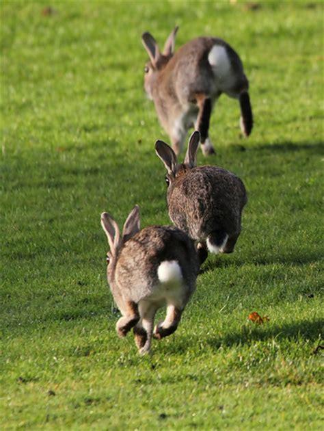 hopping bunny bunny hopping flickr photo