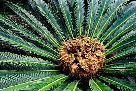 solve sago palms yellowing mystery sfgate