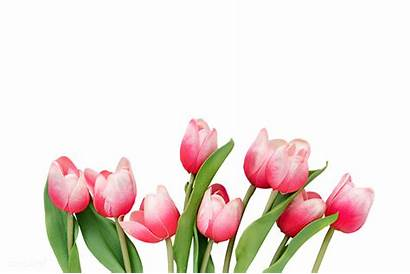 Tulip Tulips Transparent Arrangement Rawpixel Watermark Bg