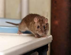 Comment Tuer Un Rat : souris et rats les m thodes pour les liminer ~ Melissatoandfro.com Idées de Décoration