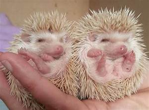 1000+ images about Hedgehogs on Pinterest | Hedgehog baby ...