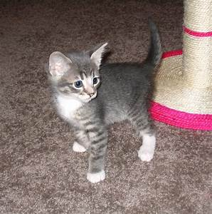 Grey and White Tabby Kitten | Cats | Pinterest | Tabby ...