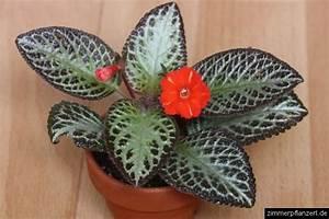 Zimmerpflanzen Für Schatten : schatten zimmerpflanzen alsobia dianthiflora ~ Michelbontemps.com Haus und Dekorationen