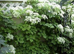 Weiß Blühender Strauch : bl hende kletterpflanzen 10 winterharte arten f r garten ~ Lizthompson.info Haus und Dekorationen