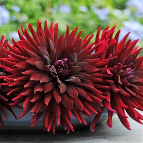 buy semi cactus dahlia black cat tuber dahlia chat noir