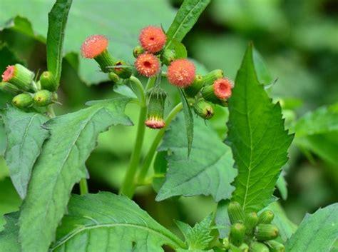 beragam manfaat daun sintrong obat kanker di sekitar kita