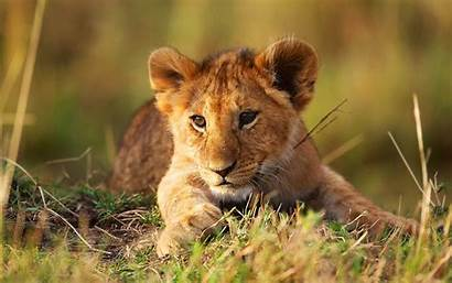Lion Cub Young Wallpapers Animals