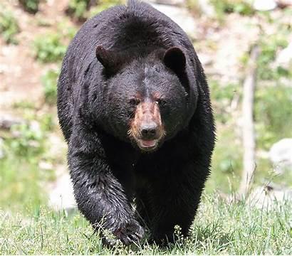 Ursus Bear Americanus Hunting Pennsylvania Season Michigan
